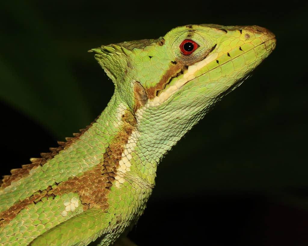 Cone Head Lizard Complete Care Sheet 1