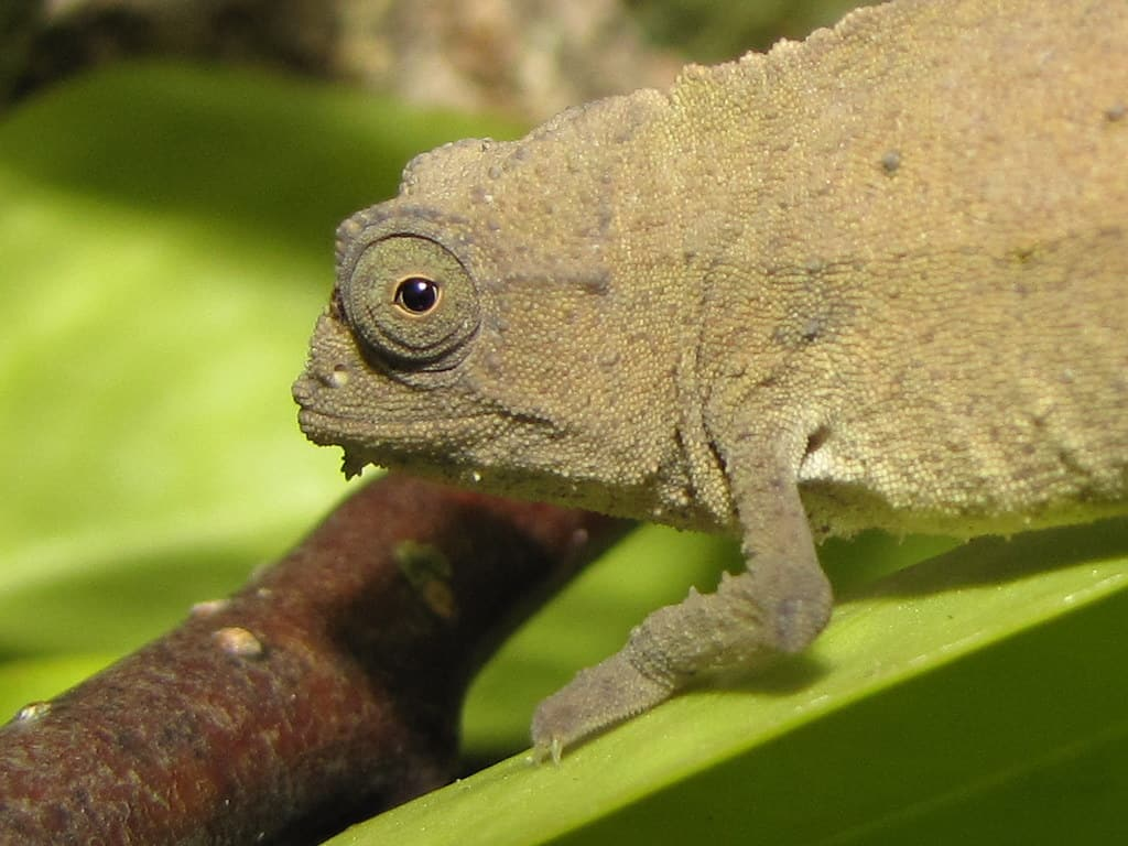 Complete Care Guide to Bearded Pygmy Leaf Chameleon 1