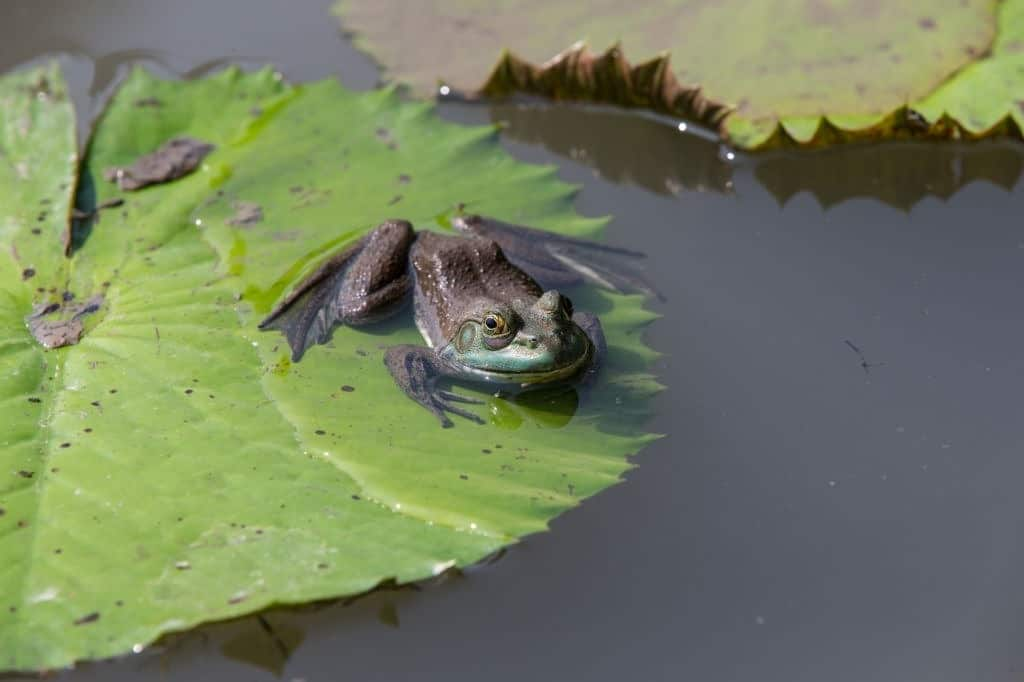 Asian Floating Frog