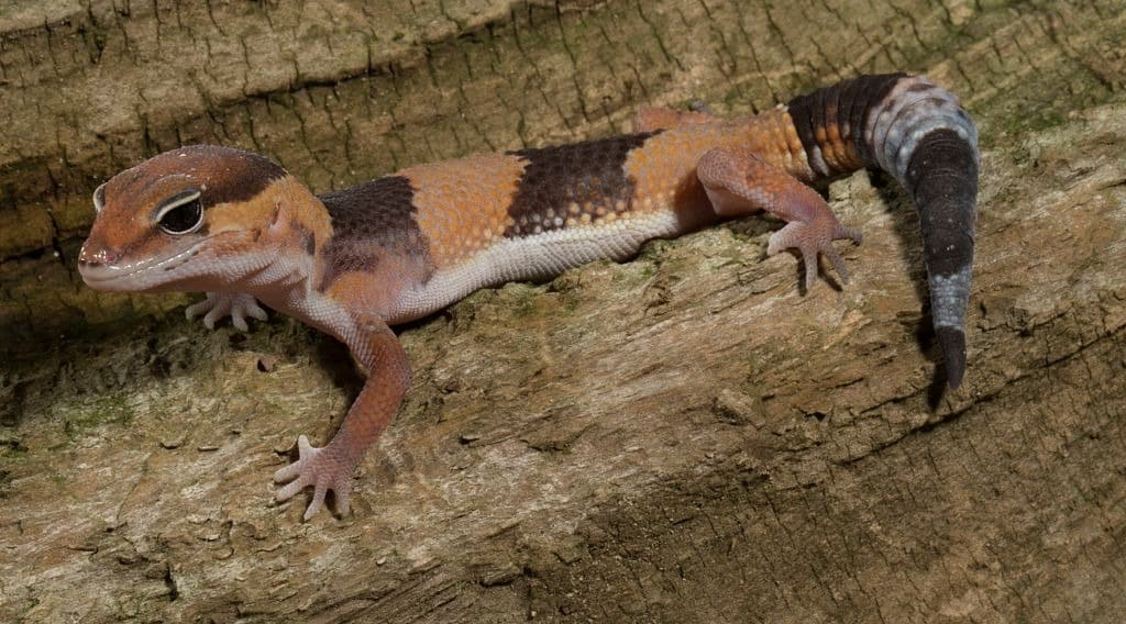 African Fat Tail Geck