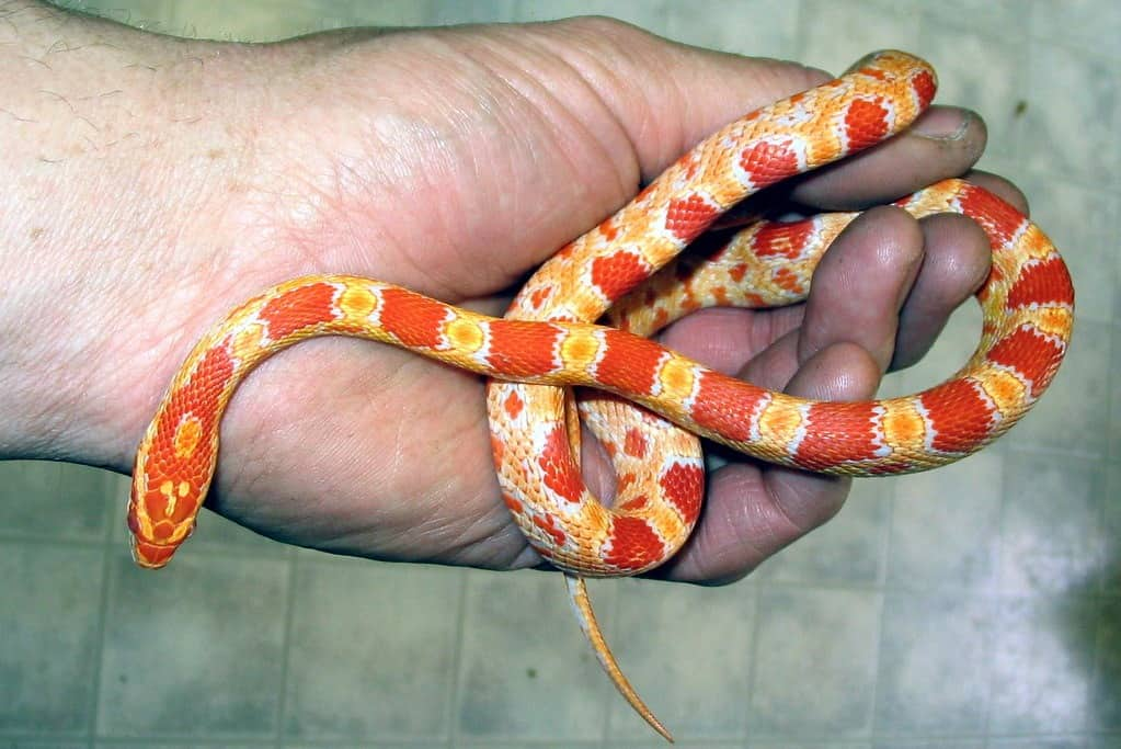 Complete Care Guide to Corn Snakes 1