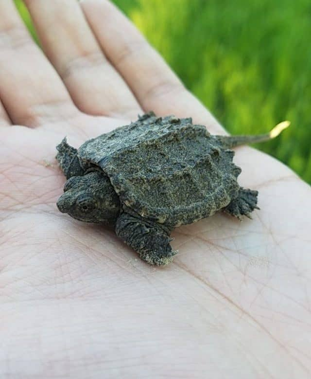 Care Guide to Common Snapping Turtle 1