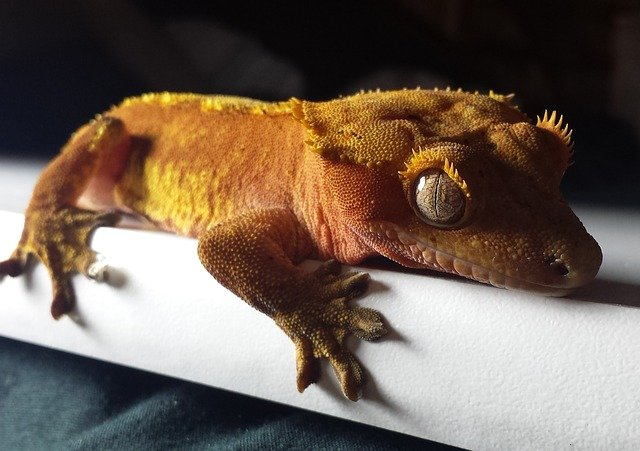Complete Care Guide to Crested Geckos 1