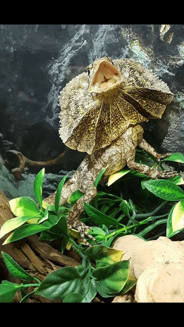 Complete Care Guide to Frilled Dragons 1