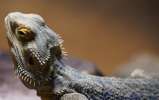 Complete Care Sheet for Bearded Dragons