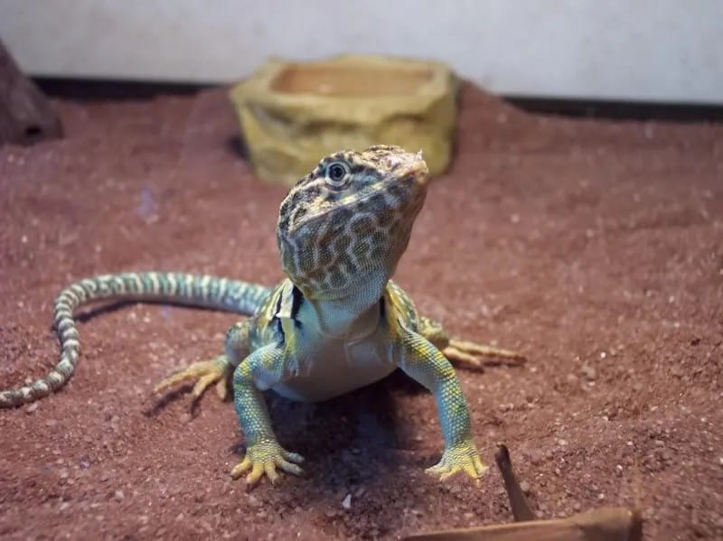 Collared Lizard Complete Care Sheet 1
