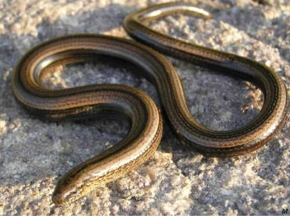 Glass Legless Lizard