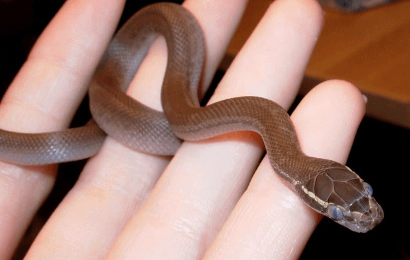 Complete Care Guide to African House Snakes 1